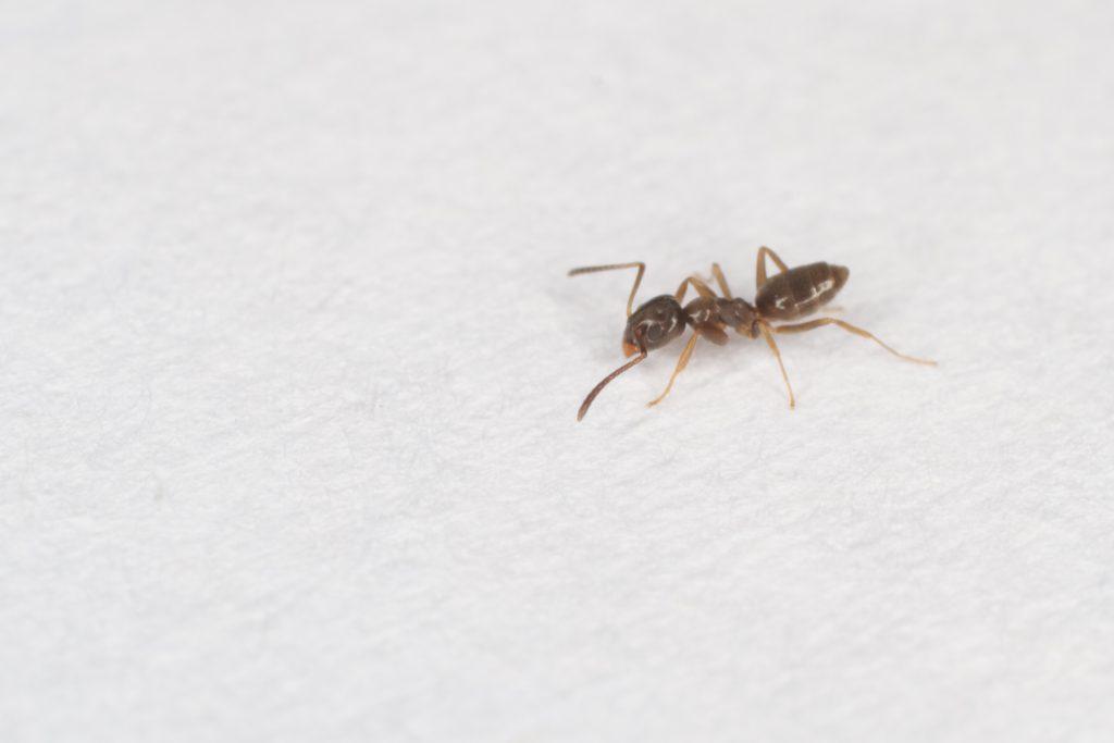 Household Ants