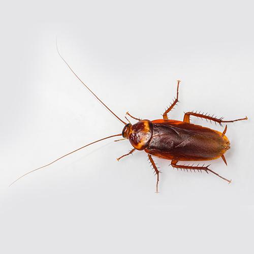 American Roaches