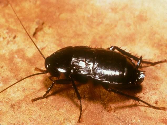 Oriental Roaches