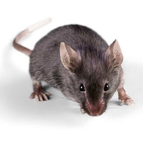 Household Mice